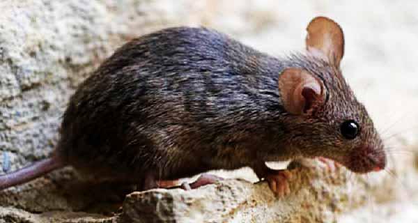 تعبیر دیدن موش در خواب چیست؟ ، تعبیر خواب موش سیاه و سفید و قهوه ای بزرگ ، تعبیر خواب فرار موش در خانه ، تعبیر خواب گرفتن و کشتن موش