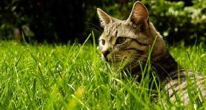 تعبیر خواب دیدن گربه ، تعبیر خواب دیدن انواع گربه وحشی سیاه و زرد ترسناک ، تعبیر گربه زخمی و مرده در خواب ، تعبیر ترسیدن و فرار کردن و گاز گرفتن گربه