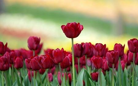عکس پروفایل گل لاله ، تصاویر زیبا از مزرعه گل لاله
