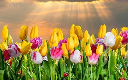 عکس پروفایل گل ، عکس مزرعه گل