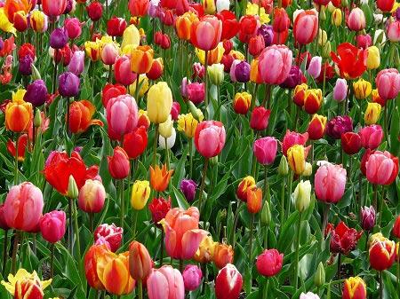 عکس مزرعه گل
