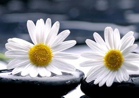 عکس گل سفید دو نفره برای پروفایل