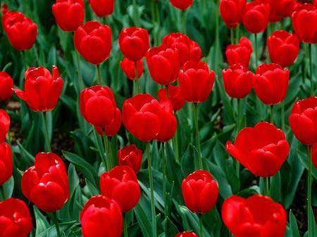 عکس پروفایل گل لاله ، تصاویر گل لاله