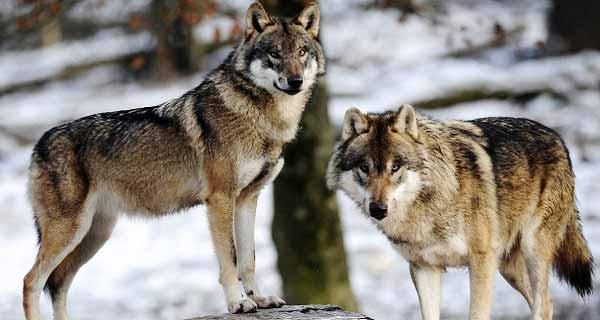 تعبیر خواب گرگ، تعبیر دیدن انواع گرگ در خواب چیست؟, tabir khab gorg