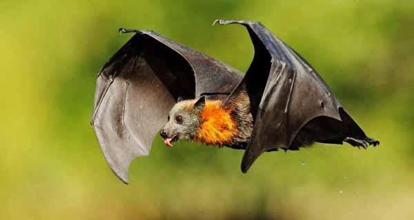 تعبیر خواب خفاش، تعبیر دیدن خفاش سیاه و مشکی و ترسناک در خواب از دید معبران، tabire-khab-khofash