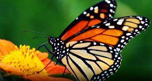 تعبیر خواب پروانه، تعبیر دیدن انواع پروانه بزرگ و کوچک در خواب برای دختر مجرد و زن باردار از دید معبران اسلامی، tabir-khab-parvane